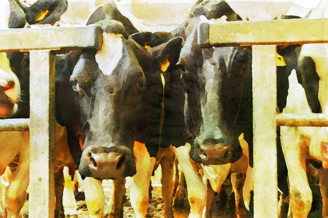 Waiting to be Milked (Watercolour)